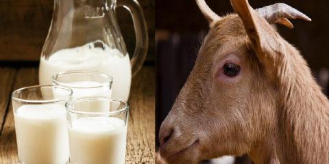 Козье молоко польза и вред